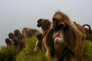 Gelda Baboons