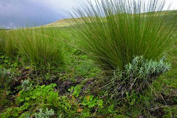 Guassa Grass