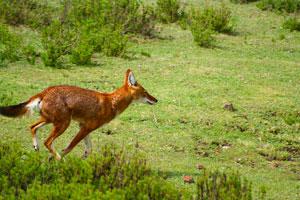 Ethiopian Wolf menz guassa